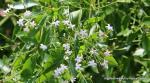 Jasminum didymum subsp. racemosum