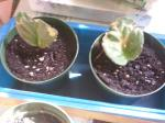 Saintpaulia - Two Water Rooted Leaves from the 27 cent African Violet 4 May 2015