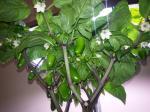 Jalapeno Pepper Plant Showing Fruit 28 August 2015