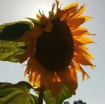 Sunflower, 5/21/16