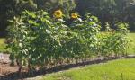 Sunflowers, 5/21/16