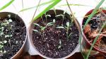 Sweet Pickle Organic Pepper seedlings updated 5-22-2016