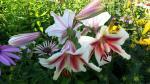 Lilies...