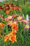 Daylilies...