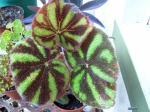 Iron Cross Begonia - Begonia variegata
