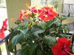 Red and Yellow Variegated Tropical Hibiscus