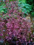 Heuchera 'Palace Purple',..in bloom.