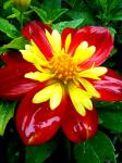 Dahlia 'Scarlet/Yellow'.