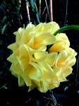 Dahlia Pom Pom 'Golden Scepter'.