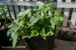 Pumpkin is growing!