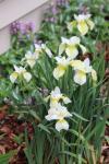 Siberian iris...Butter & sugar