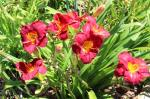 Love Conquers All Daylily...
