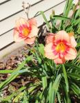 Daylily Strawberry Candy...
