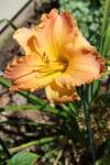 Daylily Autumn Wood...