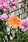 Daylily Real Wind & Phlox...