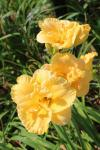 Brookwood Vallie Sharp daylily...