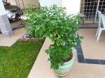 New bird's eye chili plant
